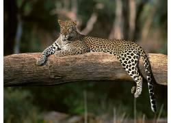 动物,豹,性质,坐在,大猫28980