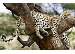 豹,豹(动物)234369