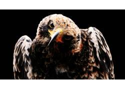 动物,鸟类,鹰派23274