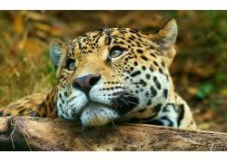 动物,豹,猫的,豹(动物)134457