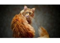 动物,猫,性质,宠物,尾巴,看着观众,景深225131
