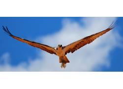 动物,鸟类,鹰(动物)134501