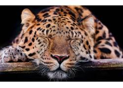 动物,豹,豹(动物)158695