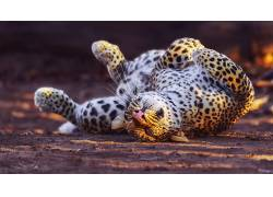 动物,豹,豹(动物)195794