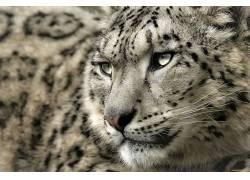 豹,雪豹,豹(动物)253986
