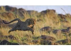 动物,豹,豹(动物)198017