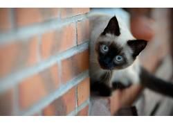 动物,猫,景深,砖块,暹罗猫201852