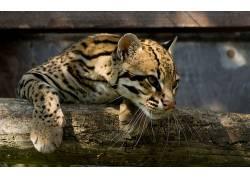 豹猫,动物181997