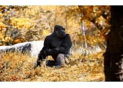 动物,猴,大猩猩,景深59922