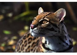 动物,豹猫194455