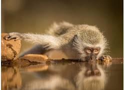 动物,猴,水,反射366661