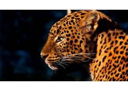 动物,豹(动物)100048