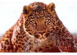 动物,豹(动物)111515