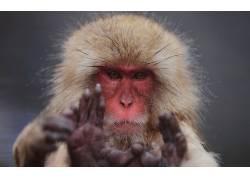 动物,猴,猕猴,手,看着观众21946