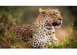 动物,豹(动物)195783