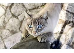 动物,猫,蓝眼睛286172