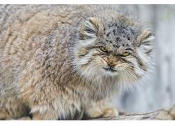 动物,猫,野猫,帕拉斯猫,帕拉斯的猫105880