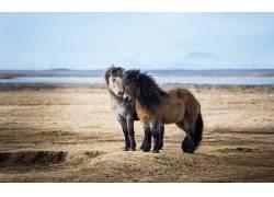 动物,马,一对195554