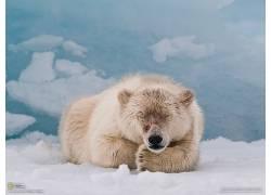 北极熊,动物,雪,国家地理162624