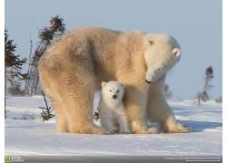 北极熊,动物,雪,小动物,国家地理97019