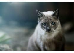 动物,猫,面对,蓝眼睛265640
