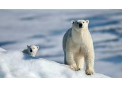 北极熊,动物,雪,幼崽261906
