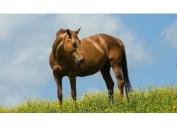 动物,马,黄色的花朵227324