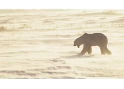 北极熊,动物56438