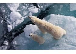 北极熊,幼崽,冰,抬头看,小动物,动物,北极929