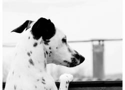 达尔马提亚,动物,狗,单色121832