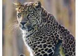 动物,豹(动物)264836