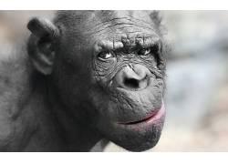 动物,猴,黑猩猩,摄影,特写,眼睛,枪口,景深,头发,性质,鼻子256728