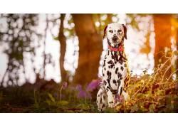 达尔马提亚,狗,动物,阳光,景深138247