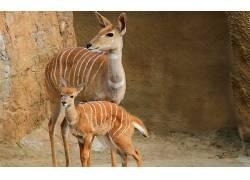 邦戈鹿,鹿,动物44137