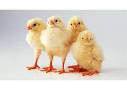 动物,鸡,小动物,鸟类127987