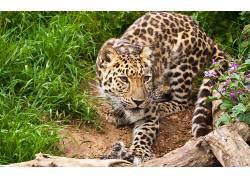 动物,豹(动物)267824
