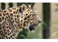 动物,豹(动物)35528