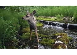 动物,鹿,小动物,瀑布,河,苔藓20629