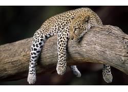 动物,豹(动物)48363