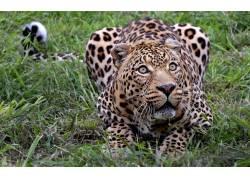 动物,豹(动物)59921