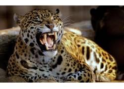 动物,豹(动物)70209
