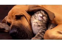 动物,猫,狗,友谊,睡眠,性质,闭着眼睛,动物的耳朵,小动物,警犬,猎