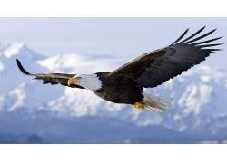动物,白头鹰,鸟类150994