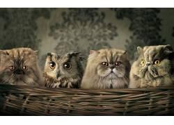 动物,猫,猫头鹰,幽默,篮19043