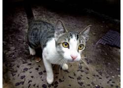 动物,猫,猫的,黄眼睛8266
