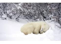 动物,睡眠,雪,北极熊180407