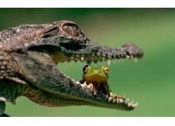动物,短吻鳄,青蛙,两栖动物201002