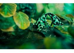 动物,青蛙,两栖动物,毒镖蛙,树叶,性质8411