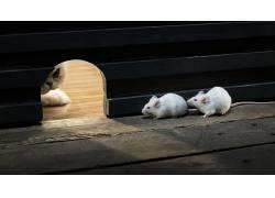 动物,猫,等候,木,木表面,宠物,灯火,阴影,大鼠,宏,狩猎,白色,老鼠