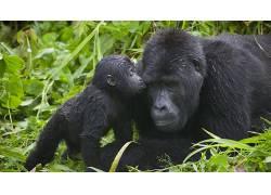 动物,类人猿205422